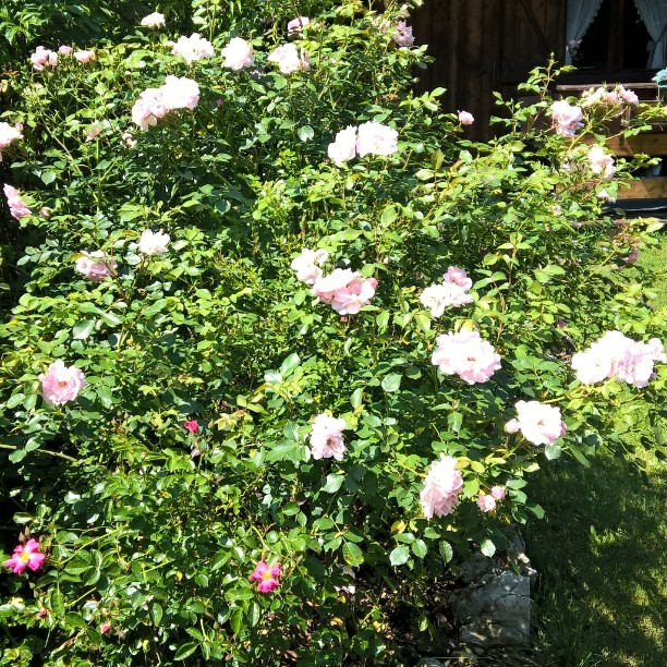 Rose del mio giardino!     flowers roseshellip